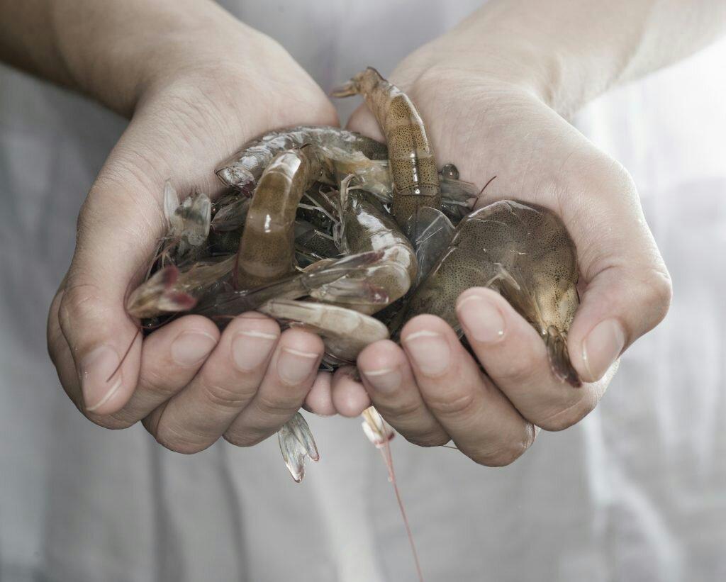 El camarón ecuatoriano ingresa al mercado australiano