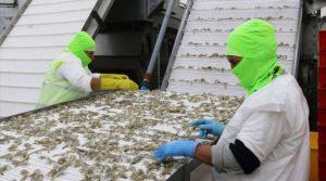 China concentra el 42% de las ventas de camarón en el 2019