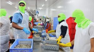 Los camaroneros ecuatorianos preocupados tras la suspensión de dos exportadoras en China
